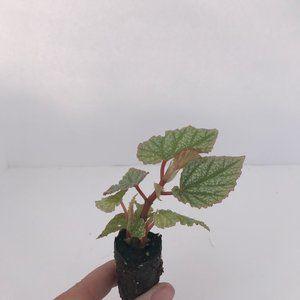 Begonia Frosty - Starter Plan